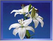 Lillies on Blue - Copyright © 2007 by Grainge