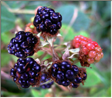 Autumn Berries - Copyright © 2007 by Magic