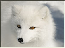 Arctic Fox - Copyright © 2008 by Kimba