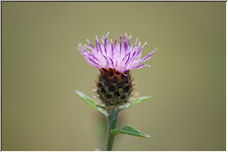 Thistle - Copyright © 2008 by Hames_T