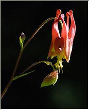 Allium Cernuum - Copyright © 2008 by AlbertM