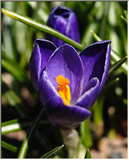 Purple Crocus - Copyright © 2008 by AlbertM