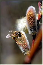 Bee and Catkin 1 - Copyright © 2008 by AlbertM