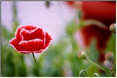 Flower - Copyright © 2008 by shobing