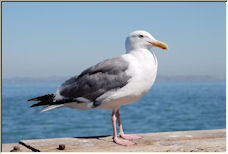 Seagull - Copyright © 2008 by Donny