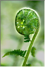 Male Fern - Dryopteris Filix-Mas - Copyright © 2008 by AlbertM