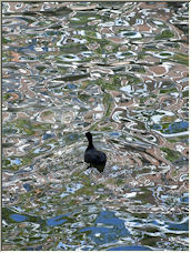 Coot in Canal - Copyright © 2008 by ropflop