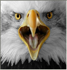 Bald Eagle - Copyright © 2008 by Photos-of-the-Year