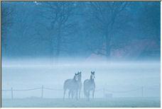 Three horses - Copyright © 2008 by Tom Elst