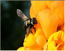 Early bee - Copyright © 2006 by Hubert de Palm