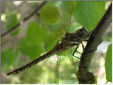 Dragonfly 2.0 - Copyright © 2006 by Josh Murakami