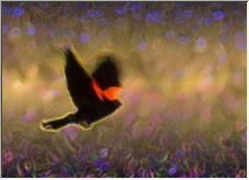 Redwinged Blackbird - Copyright © 2006 by Shirley Cross