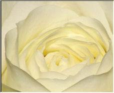 A white (creme) rose - Copyright © 2006 by Olek Kuperberg