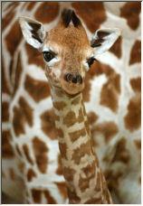 Jigsaw the baby giraffe - Copyright © 2006 by Robert Howarth