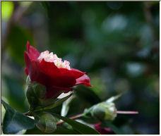 Royal Red - Copyright © 2006 by Diane Kroupa