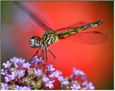 Dragonfly - Copyright © 2006 by Wayne Pinkston