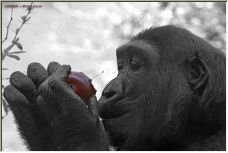 Savoring the Apple - Copyright © 2006 by Paul Coco