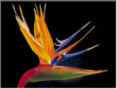 Michael's Bird of Paradise - Copyright © 2006 by Debbie Benz