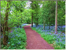 Bluebell path - Copyright © 2006 by Ian Stevens