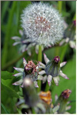Dandelion - Copyright © 2006 by Michael Davies
