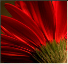 red petals - Copyright © 2006 by Roberta Dragan