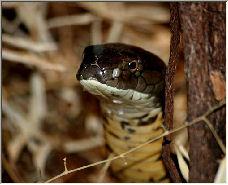 Cobra - Copyright © 2006 by Roger Welsh