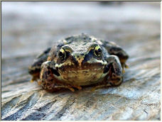 Perplexed Young Frog - Copyright © 2006 by Chris Hughes