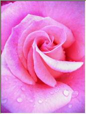 Rose - Copyright © 2006 by Vincent Culotta
