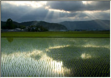 Rice Fields - Copyright © 2006 by Tracey Taylor