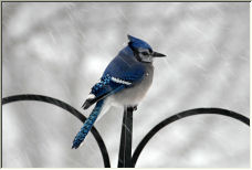 Blue Jay - Copyright © 2007 by smiles