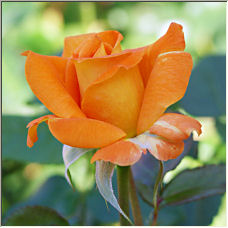 Rose of Pride - Copyright © 2007 by Riverfriends