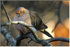 Mouring Dove - Copyright © 2007 by AlbertM