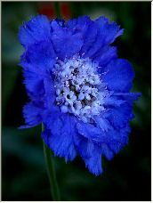 Scabiosa - Copyright © 2007 by Tom Elst