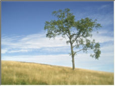 The Lone Tree - Copyright © 2007 by DAB