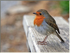 Chirpy Chap - Copyright © 2007 by IanStevens