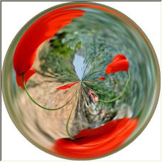 Poppies in Motion - Copyright © 2007 by Meg Metcalfe