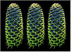 Korean Pine cones - Copyright © 2007 by Magic