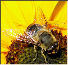 Bee - Copyright © 2007 by Petronella