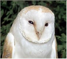 Barn Owl - Copyright © 2007 by DAB